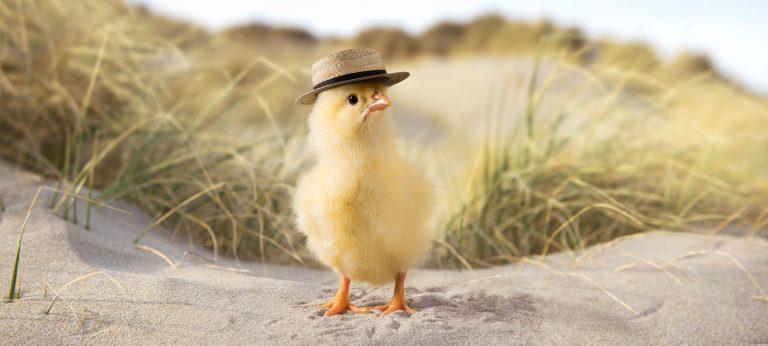 Kylling på en strand